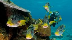 Scuba diving with schooling Lined Sweetlips