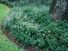 Classy Groundcovers - evergreen flowering ground covers, grasses, vines, ivy, ...