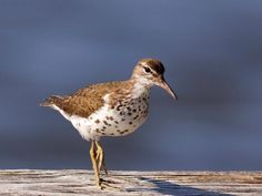 Spotted Sandpiper teeters back and forth like a seesaw. Eggs look like white spotted pebbles that blend into surroundings. They are laid in a little hollow in the sand, with bits of grass for lining. The eggs are safe because they are undetected.