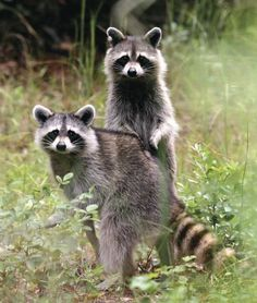 raccoons - Google Search