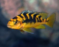 "Bumblebee Cichlid  QUICK STATS Minimum Tank Size: 70 gallons Care Level: Easy Temperament: Aggressive Water Conditions: 76-82° F, KH 10-15, pH 7.8-8.6 Max. Size: 8"" Color Form: Black, Tan, Yellow Diet: Omnivore Compatibility: View Chart Origin: Africa - Lake Malawi Family: Cichlidae"