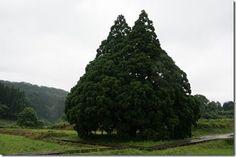 「トトロの木」小杉の大杉(山形県鮭川村)=トトロに見える巨木=