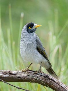 Urban bird watchers' guide to Sydney