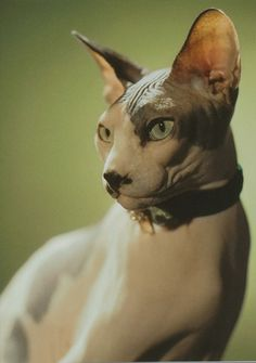I have always wanted one of these hairless cats. I think it'll be great since I'm allergic to cats!