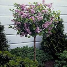 Beautiful Dwarf Lilac Trees For Your Garden - - Gardeners with limited space find dwarf lilac trees a good way to enjoy the beauty of lilacs. These trees are good for those who want to conserve their garden's space. Dwarf Trees For Landscaping, Small Front Yard Landscaping, Garden Landscaping, Hydrangea Landscaping, Patio Trees, Trees For Front Yard, Trees And Shrubs, Dwarf Flowering Trees, Front Fence