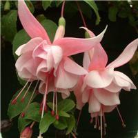 Fuchsia 'Natasha Sinton'