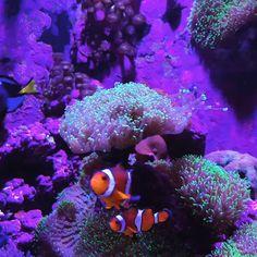 Best Reef Tank Lighting (Buying Guide) Video Credit: Clown Fish Coral Reef Lighting on IG Saltwater Fish Tanks, Saltwater Aquarium, Freshwater Aquarium Fish, Beautiful Sea Creatures, Animals Beautiful, Coral Reef Aquarium, Coral Reefs, Marine Aquarium, Aquarium Led