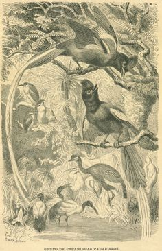 1883 Flycatcher Birds Print Old Engraving by CarambasVintage, $16.00