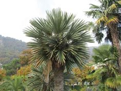 Palma Campestre