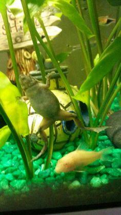 Dwarf aquatic frog & albino cory