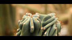 Fabrice Merlet est un producteur de cactées et de plantes grasses sur les bords de Loire. Installé à la Chapelle-Basse-Mer et plus particulièrement à La Pierre Percé depuis de nombreuses années, il ouvre désormais ses portes aux particuliers le samedi matin pour faire découvrir un lieu naturel et d'exception. La Pierre Percée 44450 La Chapelle-Basse-Mer cactus.merlet@hotmail.fr lien : cactusmerlet.fr Musique : Artiste : Pulse Tone telepopmusik - breathe (remix) lien…
