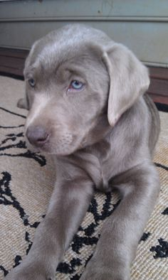 Silver lab puppy!(: Sooooo pretty!