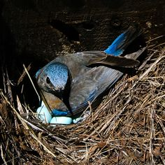 Bluebird of Happiness by Steve Corey (out and about for a bit), via Flickr