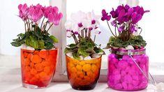 Когда в цветочном магазине видишь цикламен, трудно удержаться от покупки. Но дома растение часто разочаровывает: оно быстро теряет свою привлекательность, распустившиеся цветки вянут и поникают, листья желтеют. Причина – ошибки в уходе.