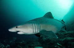 Smalltooth Sandtiger Shark: Shark Savers scientist was proud to discover the first sighting of this species in the Galapagos!