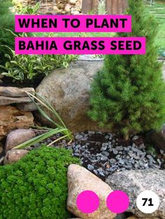 When to Plant Bahia Grass Seed. Bahia grass is a low-maintenance grass that thrives in Florida and the coastal South. Originally used as a pasture grass, it is now a popular choice as a lawn grass in places where soil quality is poor. Not only can bahia grass survive on sandy and infertile soil,  it can withstand drought, heat and heavy rains as...