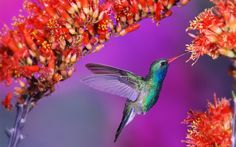 Hd hummingbird pictures 3d hd pictures.