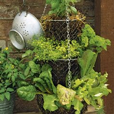 DIY:  Basic info to grow salad in a hanging wire basket - line baskets with moss to keep soil in, then plant.