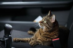 Keeping Your Cat Safe In The Car Drivers are being advised on how to keep their four-legged family members safe on the way to appointments and during road trips. The motoring experts at LeaseCar.uk have compiled their advice for travelling with cats, with the top priority being to keep them safe. The Highway Code states that all animals must be suitably restrained […] #Cat, #Cats, #Cute, #Funny, #Katze, #Katzen, #Katzenworld, #Kawaii, #Pets, #ねこ, #猫 #Advic