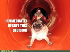 Pugs Archives - Page 17 of 18 - Pug Meme, funny cute pugs Funny Animal Photos, Animal Memes, Animal Pictures, Funny Animals, Funny Pictures, Cute Animals, Dog Photos, Dog Pictures, Animal Quotes