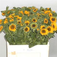 Sunflowers (helianthus) Sonja are a small flowering variety. Flower head size: approx. 6-7cm in diameter.
