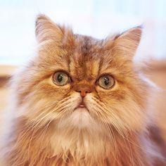 """""""Ponchi"""" #chinchilla #persiancat"""