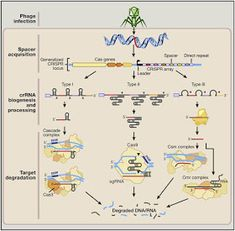 What is technology?simple point wise explanation of remarkable gene editing tool. Engineering Science, Science Projects, Science And Technology, Chemistry Set, Oncology Nursing, Biology Lessons, Human Anatomy And Physiology, Cell Biology, Applied Science