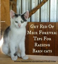 The Homestead Survival | How To Raise A Homesteading Mouse Chasing Barn Cat | http://thehomesteadsurvival.com