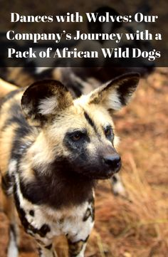 Click on the link and check out this weeks #blog to see how #TravelGround is helping endangered painted wolves! #TGBlog Dances With Wolves, African Wild Dog, Going On Holiday, Wild Dogs, Where To Go, Wolf, Journey, Link