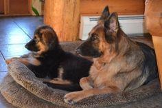 StormCloud Shepherds - German Shepherd breeder in New Hampshire - German Shepherd puppies - German Shepherd - German Shepherd show dogs