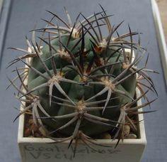 Gymnocalycium catamarcense belense VS64