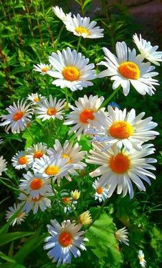 Carnations and daisies are two popular flowers that add a great touch to any garden. Learn how to grow carnation and daisy flowers in your home garden. Exotic Flowers, Amazing Flowers, White Flowers, Beautiful Flowers, Beautiful Moments, Purple Flowers, Beautiful Pictures, Daisy Love, Flower Pictures