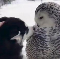 Puppy meeting a Snow Owl.