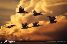 Flock of Pelicans Flying Through Florida Sky by Kim Seng