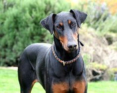 Doberman <3 .... Reminds me of my Tosca and my Tesha.... natural ears...