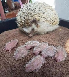 Baby hedgehog : interestingasfuck