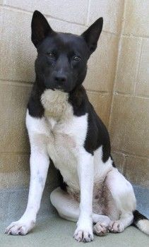 Canaan dog mixed breed needs rescue help from experienced handler
