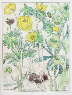 1910 Botanical Print by H. Isabel Adams: Buttercup Family, Winter Aconite, Stinking Hellebore, Golden Ball, Mountain Globe Flower