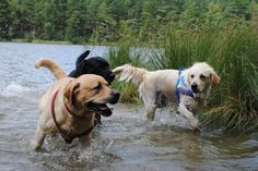 labs times three or labs mean being free :)   #labrador