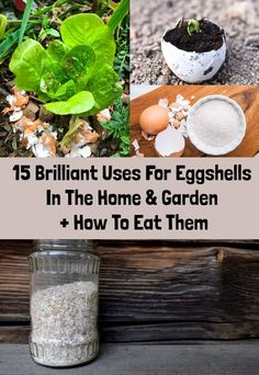15 Brilliant Uses For Eggshells In The Home & Garden + How To Eat Them. Egg Shell Uses, Egg Shells In Garden, Clean Pots, Yema, Duck Eggs, Cheap Coffee, Dried Apples, Wild Bird Food, Chickens Backyard