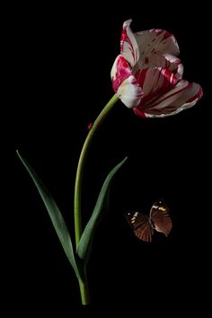Bas Meeuws - contemporary Dutch flower still life photography Vegetable Illustration, Plant Illustration, Botanical Illustration, Floral Photography, Still Life Photography, Exotic Flowers, Amazing Flowers, Parrot Tulips, Tulips Flowers