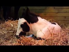 Young Latcho Lou Colt Panda Bear, Gypsy, Pony, Fire, Horses, Babies, Pony Horse, Babys, Horse