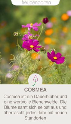 Cosmea pflanzen und pflegen The Cosmea, or Schmuckkörbchen, is a valuable bee pasture for balcony or garden. Cottage Garden Plants, Herb Garden, Indoor Garden, Indoor Plants, Garden Care, Hydrangea Care, Indoor Flowers, Herbs Indoors, Pallets Garden