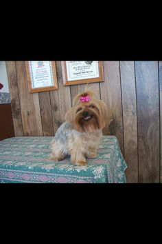 omg too funny this Yorkie is really smiling!