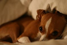 Italian Greyhound/Chihuahua.  I have an Italian Greyhuahua.  They're an adorable mixed-breed.  (This isn't my pup - just a really cute one I found a pic of online).