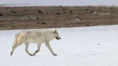 Public Domain Polar Wolf Pictures – PublicDomainBox.com :http://www.publicdomainbox.com/public-domain-polar-wolf-pictures-publicdomainbox-com/