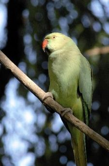 The Wild Parrots of Surrey: