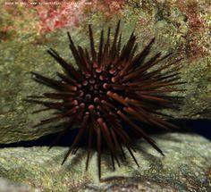 Sea Urchin | Sea Urchin