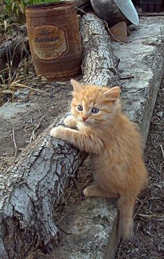 These cute kittens will brighten your day. Cats are incredible creatures. Pretty Cats, Beautiful Cats, Animals Beautiful, Gorgeous Gorgeous, Cute Kittens, Kittens Playing, Baby Animals, Cute Animals, Animals Images