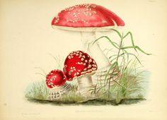 red mushrooms on BioDiversity